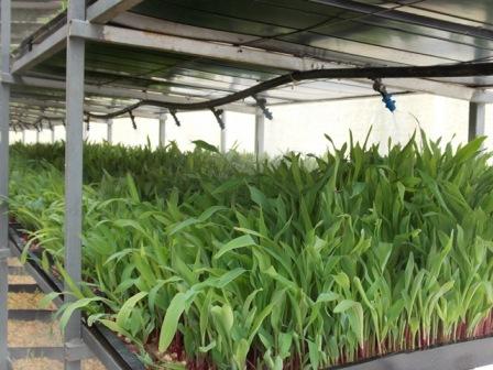 el forraje verde hidroponico ayuda a reducir el consumo de alimento concentrado en la producción lechera