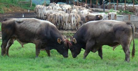Toros Pardo Suizo son sementales para mejorar renidimiento lechero