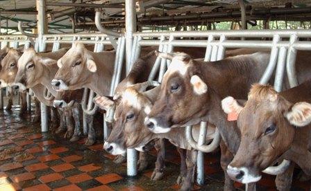 las vacas en ordeño mecanico