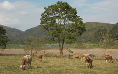 Las vacas doble propoito mejoran la producción lechera al incorporar genes de la raza pardo Suizo al ganado de carne
